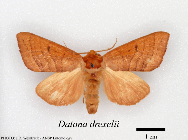 Datana drexelii adult moth from the collections of the Academy of Natural Sciences of Drexel University. Photo by Jason Weintraub