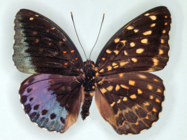 A gynandromorph butterfly found at the Academy of Natural Sciences of Drexel University. Credit: J.D. Weintraub/ANSP Entomology